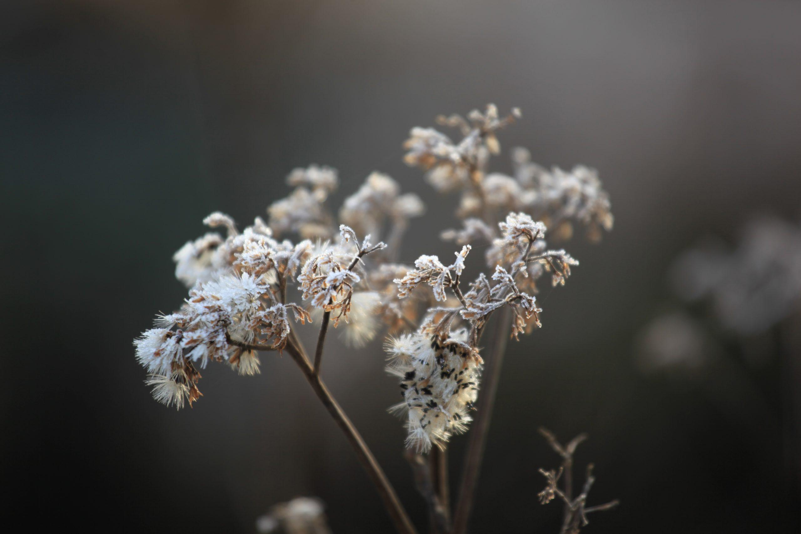 Bevroren plant